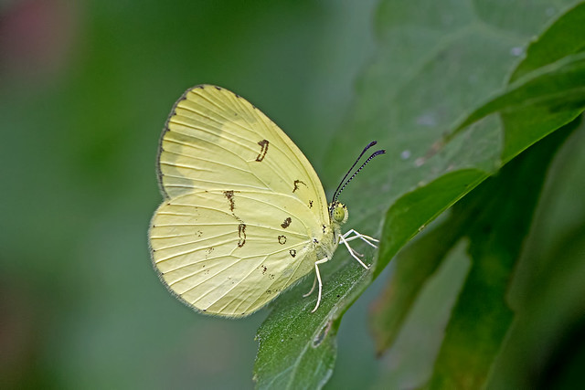 Eurema novapallida - the Siamese Pale Grass Yellow
