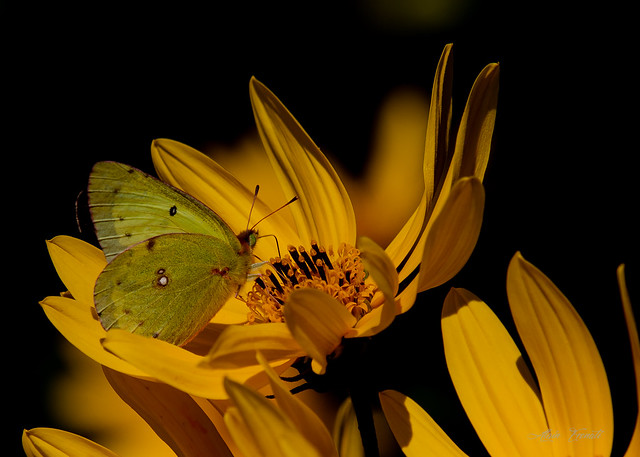 Clouded Sulfur butterfly Papillon  Coliade du tréfle on a Woodland Sunflower