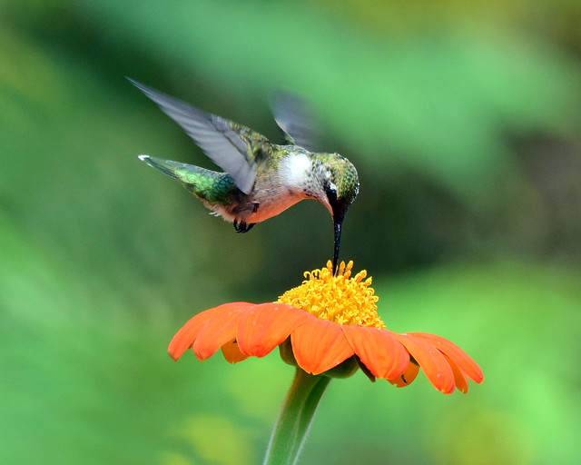 810_7741. Ruby-throated Hummingbird