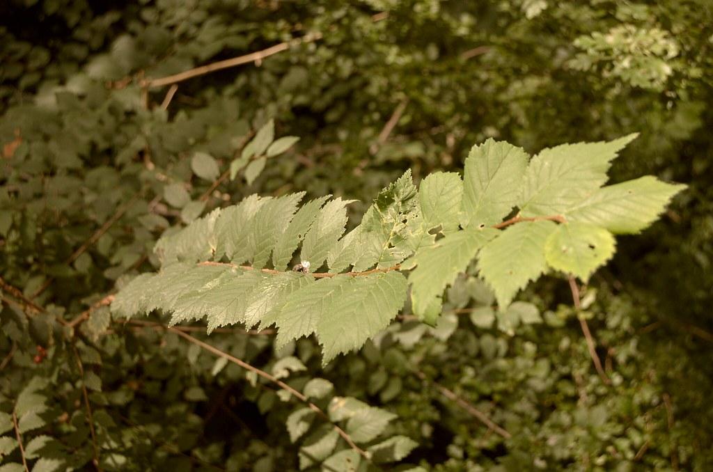 Leaf.on.the.wind