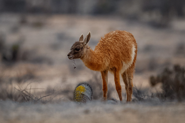 Young Guanaco eating a cactus