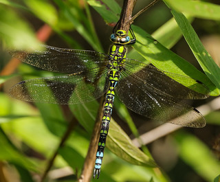 southern hawker [m]
