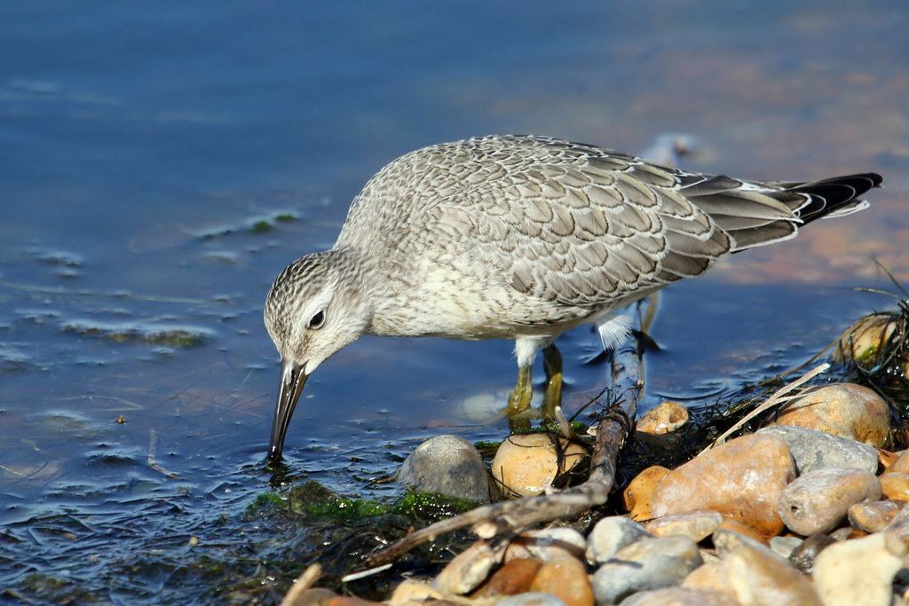 Red Knot-7D2_6866-001