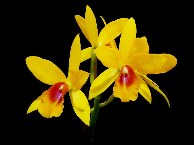 Laeliocattleya 'Gold Digger' x Guarianthe aurantiaca