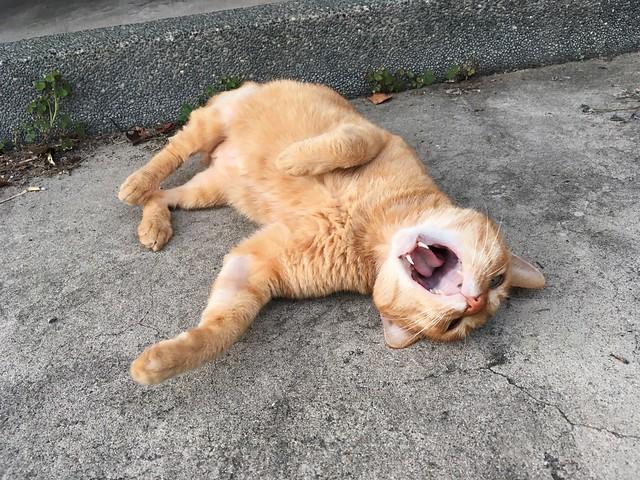 トラ猫のあくび