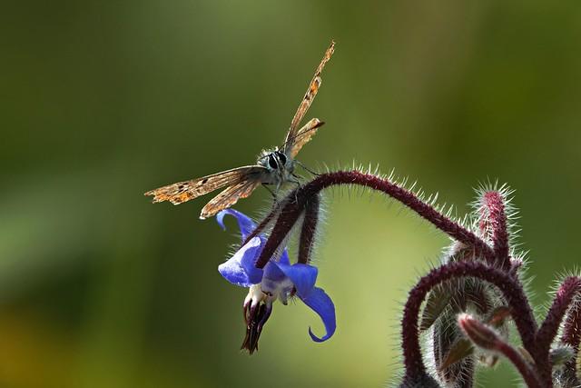 brown-blue on the bernagie flower