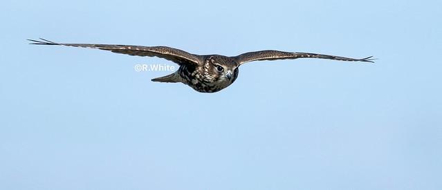 Merlin in flight