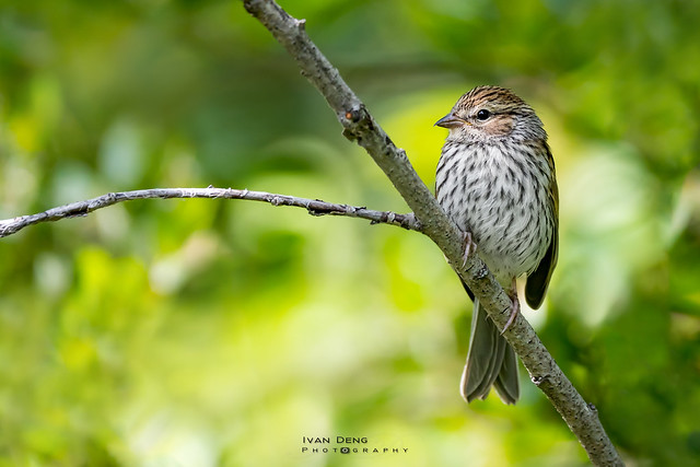 Chipping sparrow (Juv.)