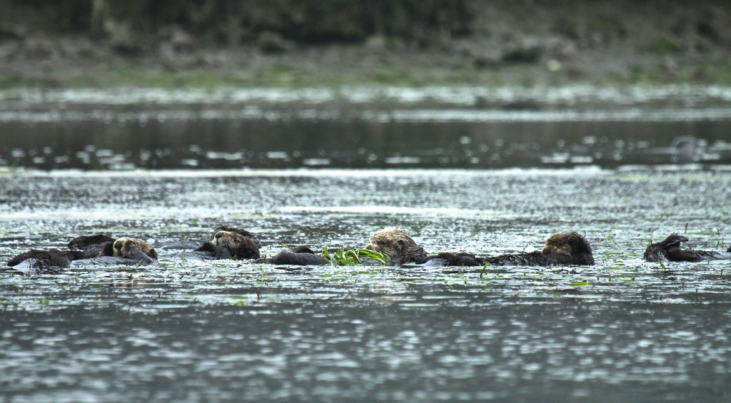 Resting otters