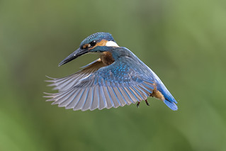 Kingfisher In Flight Sep 2019