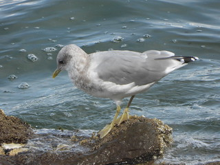 september 9 2019 14:01 - Mew Gull | by boonibarb