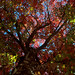 COB Forestry - red maple 3