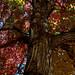 COB Forestry - red maple 2