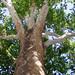 COB Forestry - Naropa sycamore 5
