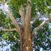 COB Forestry - Naropa sycamore 4