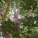 COB Forestry - Naropa sycamore 3