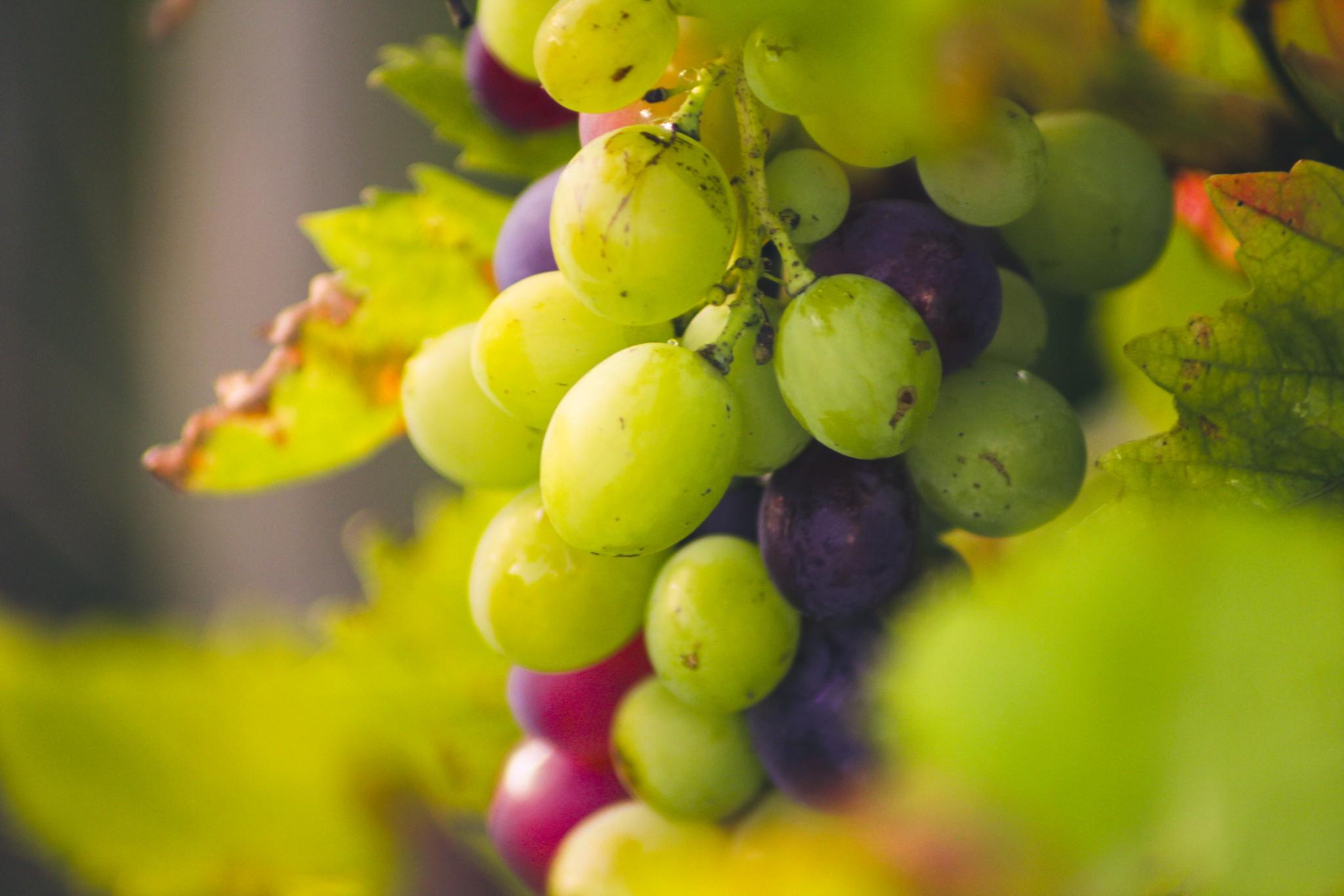 Vine Bokeh | 17. September 2019 | Tarbek - Schleswig-Holstein - Deutschland