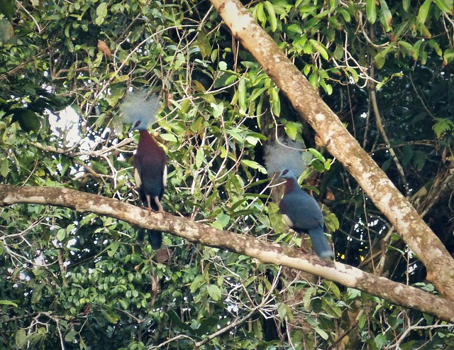 Sclater's Crowned Pigeon Goura sclaterii
