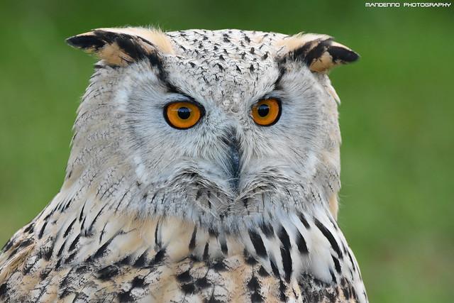 Siberian eagle owl - Falconry fair
