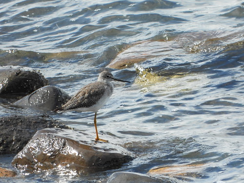 september 9 2019 14:25 - Greater Yellowlegs | by boonibarb