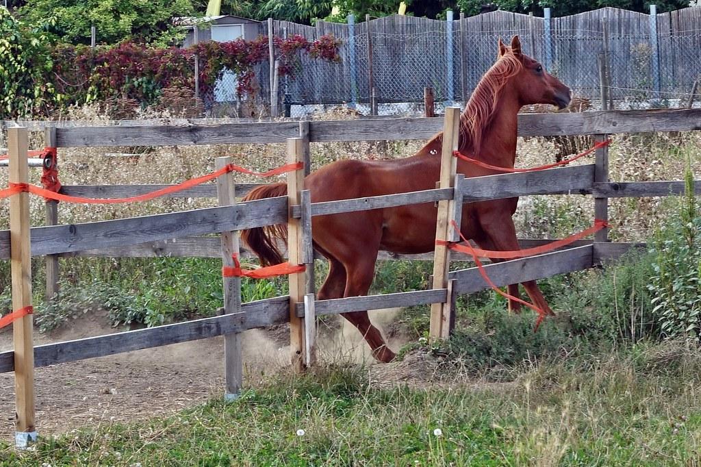 ungeduldiges Pferd