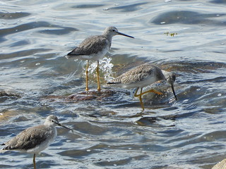 september 9 2019 14:22 - Greater Yellowlegs | by boonibarb