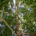 COB Forestry - Naropa sycamore 2