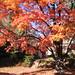 COB Forestry - sugar maple 1