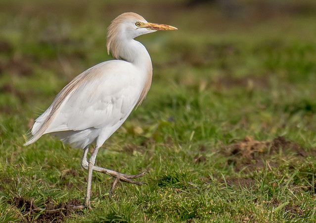 DSC6400  Cattle Egret...