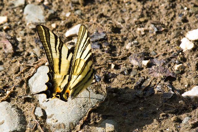 Swallowtail butterfly (papilio machaon) near Mylos water mill, near Kipi, Zagori, Greece