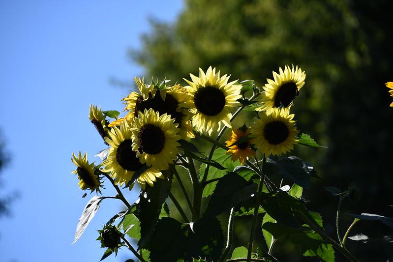 Sunflowers 17.09.2019