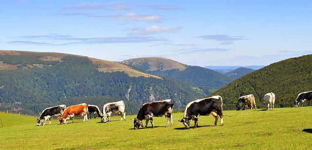 Au bonheur des vaches .... dans le massif des Vosges