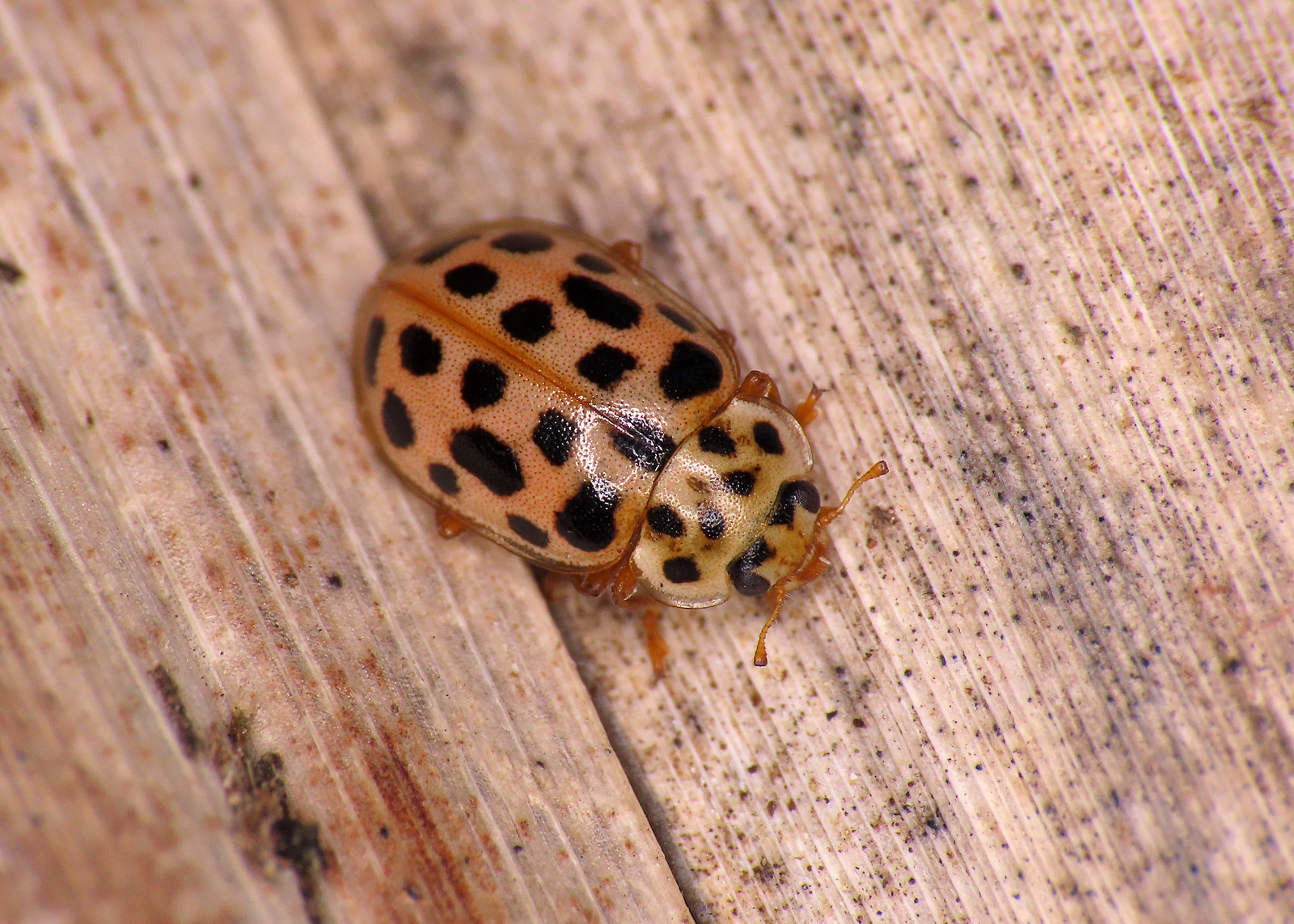 Water Ladybird - Anisosticta novemdecimpunctata