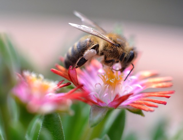 honey bee on Delosperma, Jewel of Desert - further picture