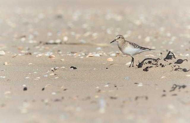 Bairds Sandpiper / Bairds strandloper