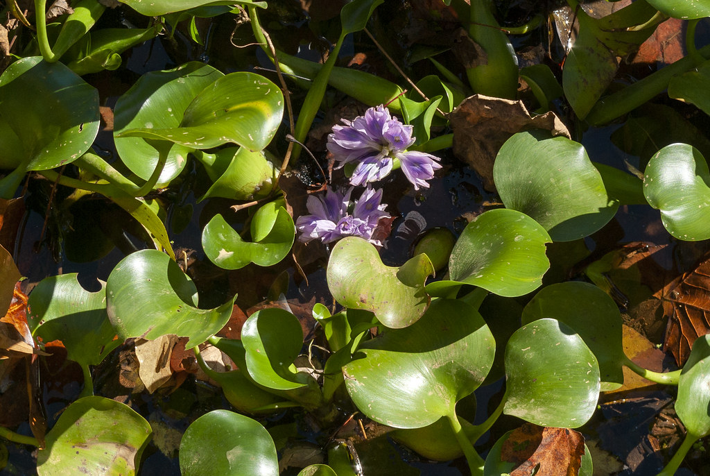 Eichhornia crassipes, City Lake, Putnam County, Tennessee