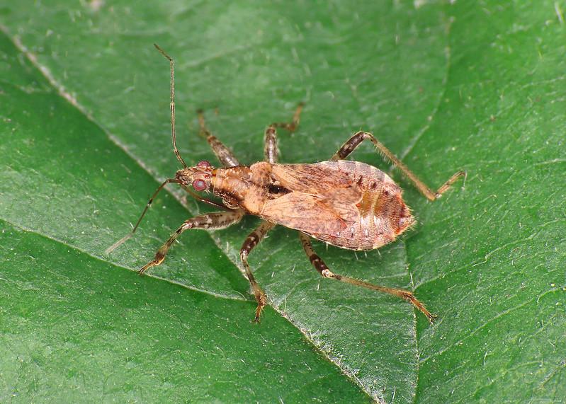 Ant Damselbug - Himacerus mirmicoides