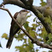 Yellow-billed Cuckoo at Sandy Hook
