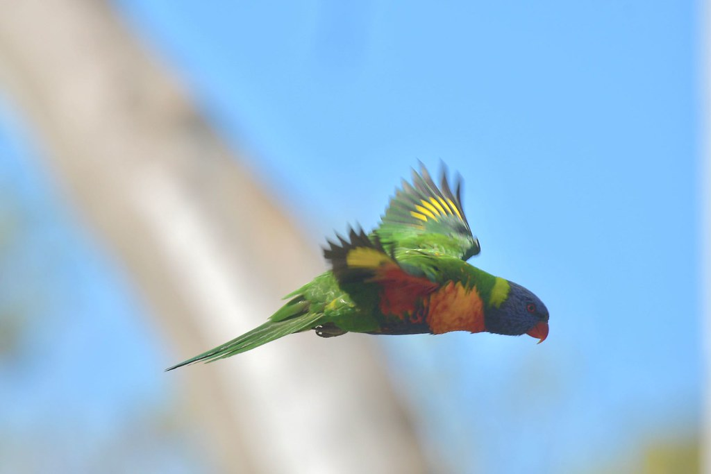 rainbow Lorikeet ( just passing )