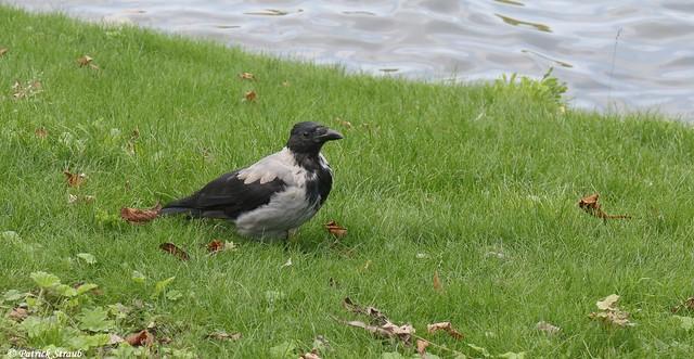 Corneille mantelée (fr) - Corvus cornix (Linnaeus, 1758) - Nebelkrähe (de) - Hooded crow (en)
