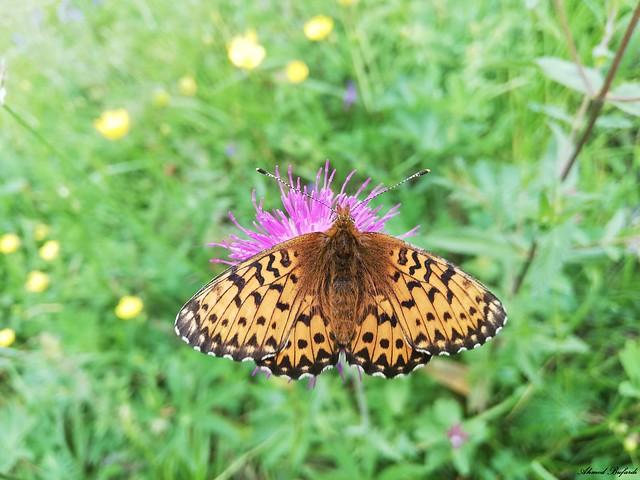 Butterfly 1867
