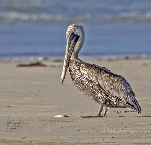 Brown Pelican 3.