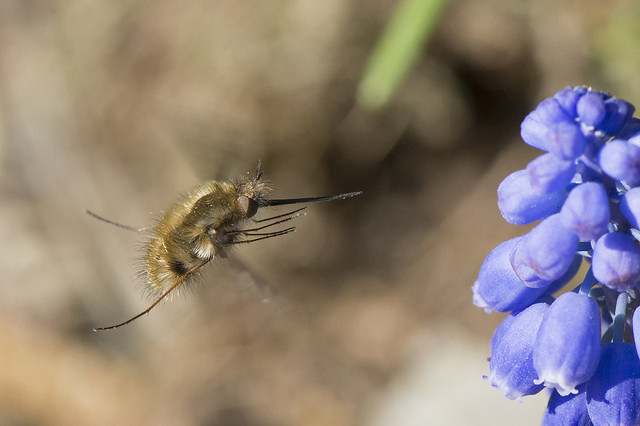 Bee-fly / Wolzwever / Bombylius sp.