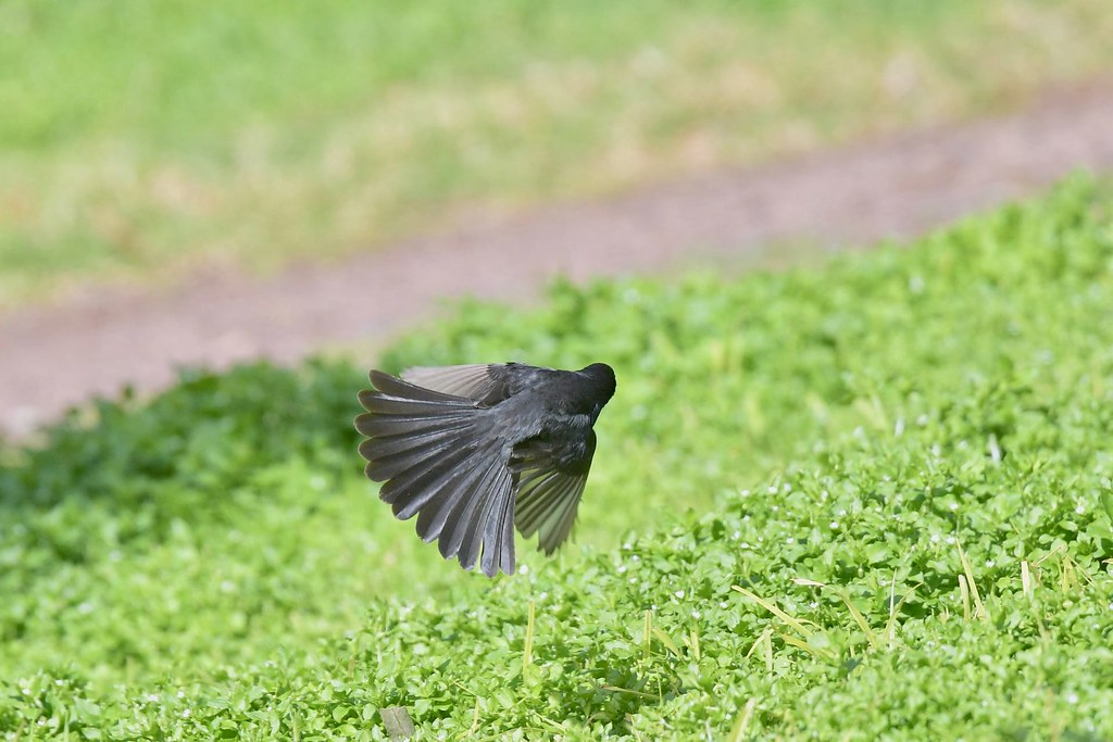 Willie wagtail  (just a tail show )