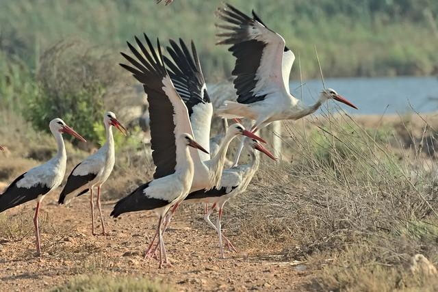 White Storks at sunset
