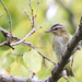 Red-eyed Vireo at Sandy Hook