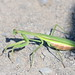 Praying Mantis at Sandy Hook