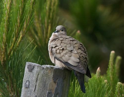 Black-winged Ground Dove