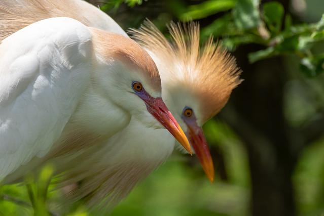 Cattle Egret - Bubulcus ibis   2019 - 5
