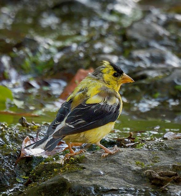 Chardonneret jaune ---   American goldfinch ---   Canario salvaje